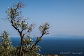 Olivetree from Meglachori.